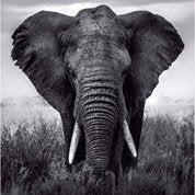 Affiche Eléphant l.14 x H.14 cm