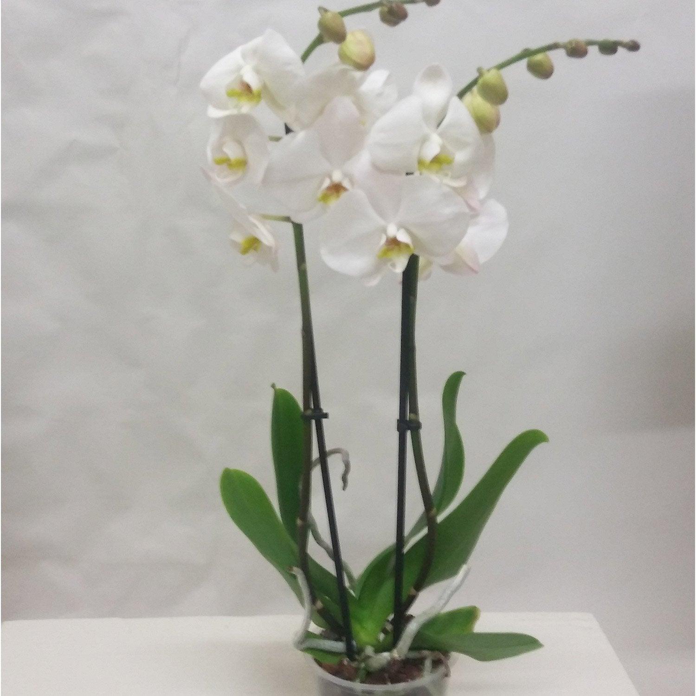 orchidee blanche nom latin