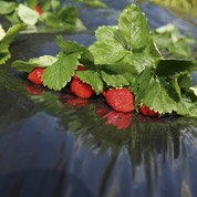 Film de paillage pour fraises GEOLIA