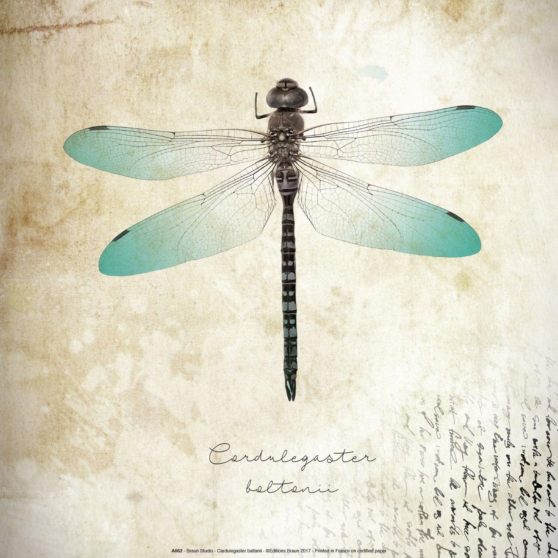 Affiche Cardulegaster baltanii l.31 x H.31 cm