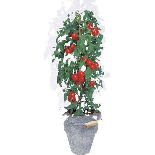 pot aromatique tomate cerise geolia 0 2 g leroy merlin. Black Bedroom Furniture Sets. Home Design Ideas